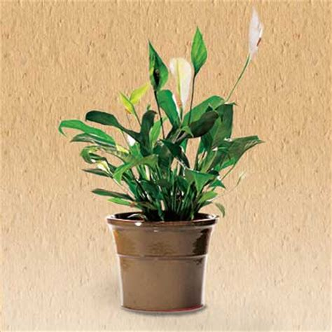 10 houseplants that clean the air urban planters 10 clean air plants for your home actionplushi