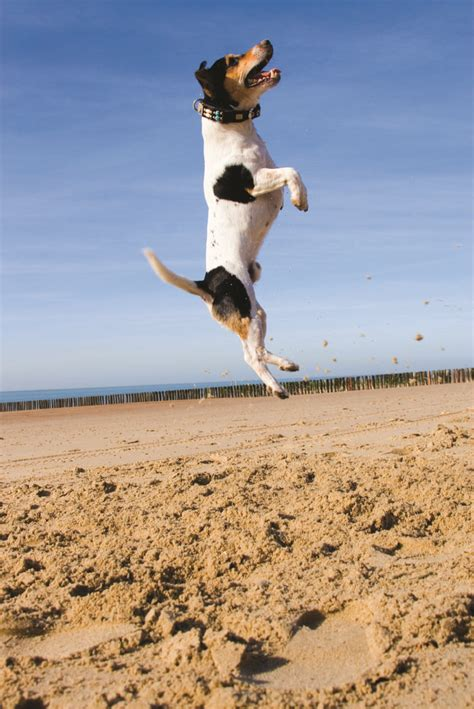 puppy jumping how high would your jump for a treat s and festivals