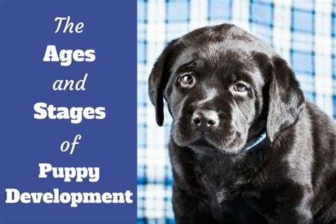 puppy development by week ages and stages of puppy development week by week