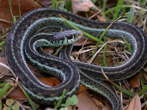 Garter Snake Green Black Blue Striped Garter Snake Thamnophis Sirtalis Similis