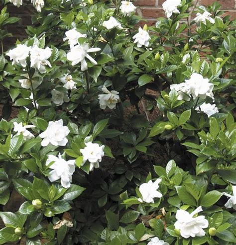 best ideas about captain s garden indoor garden plants and peas garden on pinterest jasmine