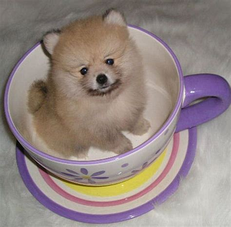 pomeranian puppies in florida 17 best ideas about pomeranian puppies for sale on tiny puppies for sale