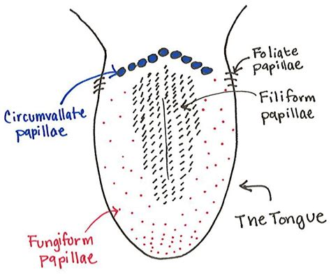 diagram of the tongue image gallery lingual papillae