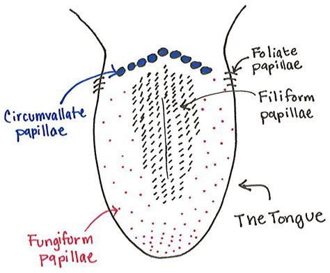 diagram of taste buds amanda greene