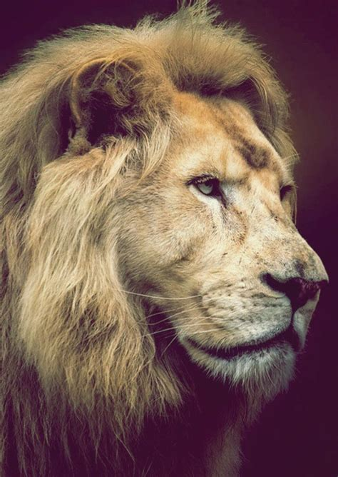 imagenes de leones tumblr humor fli flis felinos majestuosos animales