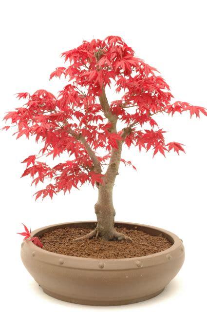 indoor bonsai kaufen new bonsai colour bonsai direct