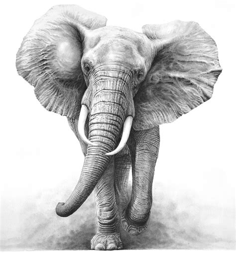 Drawing Elephant by Elephant Elephant Pencil And In Color