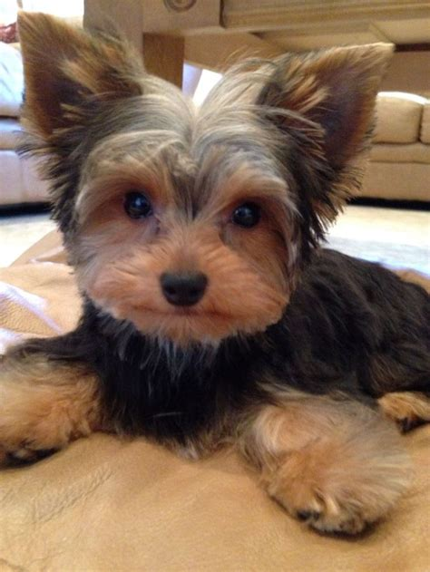 cut yorkie best 25 terrier haircut ideas only on