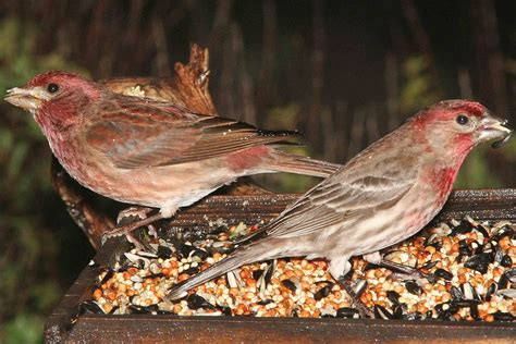 identifying birds house finch or purple finch