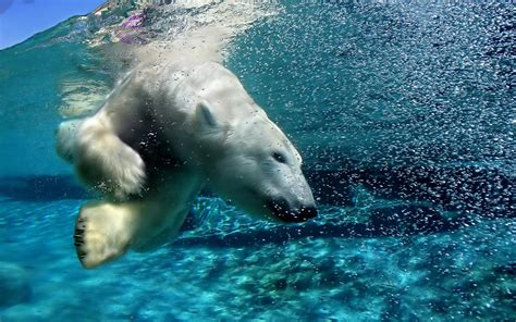 underwater polar bear slider puzzle migi mega entertainment quot animals wallpapers quot the best