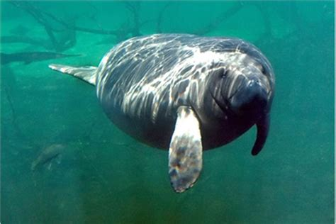Manatee Records Florida Sees Record 803 Manatee Deaths Tide Blamed Nbc News