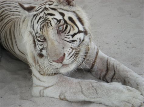 White Tiger L by Beautiful Wallpapers White Bengal Tiger Pictures