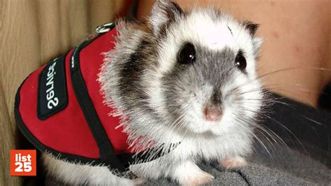 how to your to be a service animal 25 strangest pets to be used as service animals