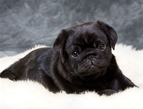 pug wanted wanted black pug bristol bristol pets4homes