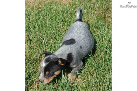 australian cattle puppies for sale near me australian cattle blue heeler puppy for sale near springfield missouri f264538b