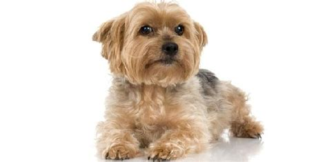 yorkie eye infection terriers is healthy and living breed this breed prone to some