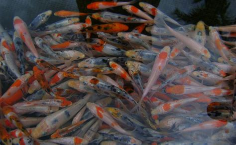 Jual Bibit Gurame Di Yogyakarta jual bibit ikan koi di bali lie min koi bali