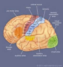motor and sensory areas of the brain simplified brain for stroke pt reference broca s area
