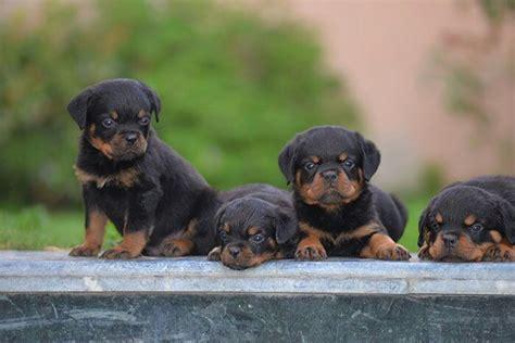 lifespan of a rottweiler rottweiler rottweiler rottweiler tips rottweiler puppy