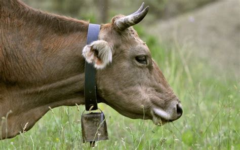 Cow Bell austrian court orders farmer to remove cow bells from his
