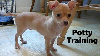 how to house train a chihuahua how to potty train a chihuahua puppy chihuahua potty training tips house training