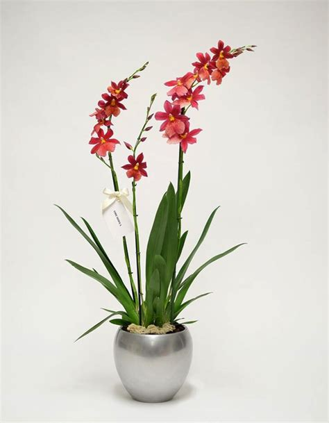 Orchid Plant by White Orchid Plant Orchidya Flower Shop