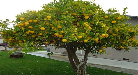 fruit of the service tree fruit tree pruning fort myers tree service fort myers fl