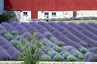 when is lavender in season in michigan cherries on the tree traverse the cherry blossoms appear