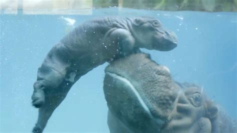 Baby Wear Hippo Swim bouncing baby hippo learns to swim with a boost from abc news