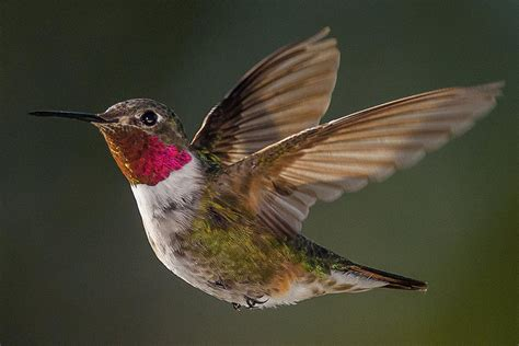 sounds hummingbirds make birding by ear