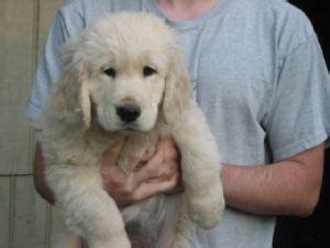 golden retriever puppies 500 dollars golden retriever puppies for sale