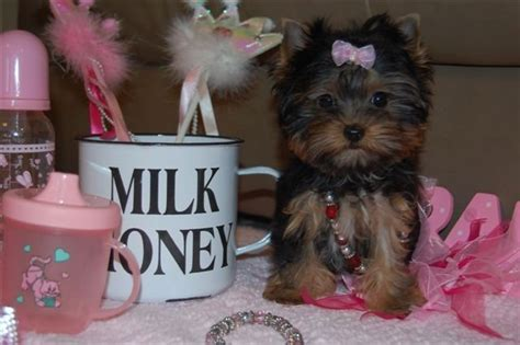 teacup yorkies south africa and affectionate yorkie puppies products south africa and affectionate
