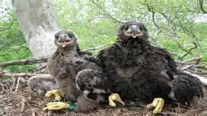 duke farms eagle camera on ustream 6 18 2015 good morning