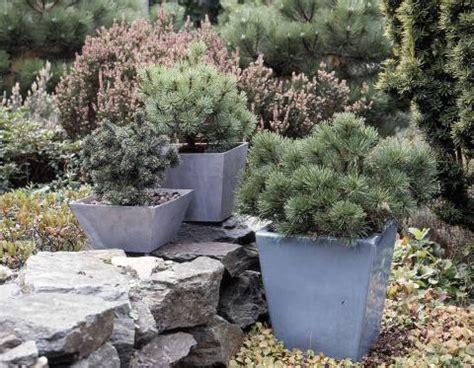 Blauregen Im K Bel 6322 by Winterharte Kletterpflanzen Im K 252 Bel Kletterpflanzen