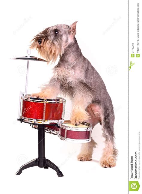 puppy drum with a drum kit stock photography image 21730202