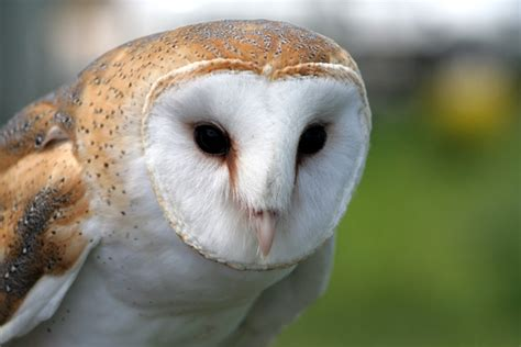 Are Barn Owls Endangered barn owl the endangered species in il photo wei o