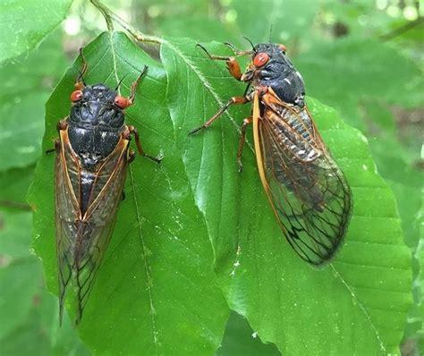 The Cicadas the cicadas are coming early wvxu