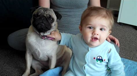 pugs and children pug tolerates baby both adele mighty pugs