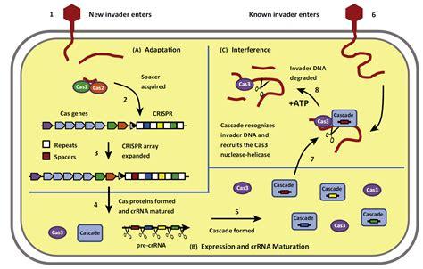 crispr cas crispr cas small rna based adaptive immunity in