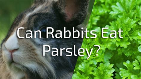 can dogs eat parsley can rabbits eat parsley pet consider