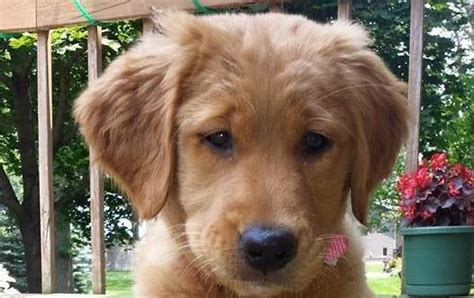 golden retrievers iowa heartland goldens golden retrievers granger iowa