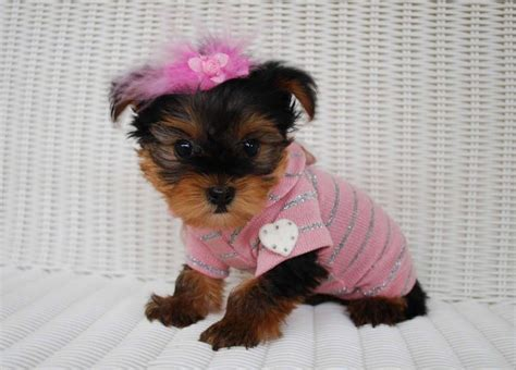 how much does a yorkie poo cost 25 best ideas about yorkie breeders on teacup yorkie yorkie dogs for