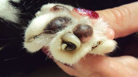 how often to cut dogs nails how to trim your dogs nails tavares animal hospital
