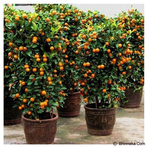jual kebun bibit tanaman jeruk imlek impor bibit benih