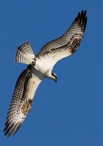 osprey photography