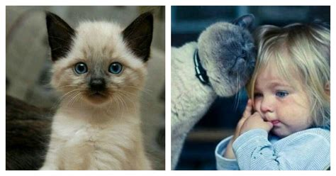 8 Reasons To Get A Siamese Cat by 12 Reasons Why You Should Never Own Siamese Cats Sarcasm