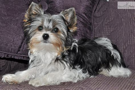 yorkies for sale pittsburgh pa terrier yorkie puppy for sale near pittsburgh pennsylvania 2466cb72 c591