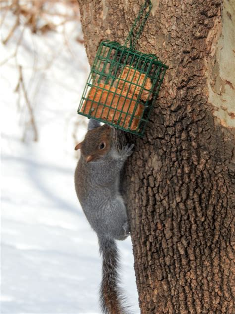 deterring squirrels with hot pepper suet birdseed