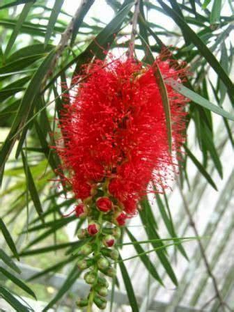 Pohon Sikat Botol Bunga Merah Pohon Hias Berdaun Wangi jual tanaman hias pohon sikat botol tanaman pelindung