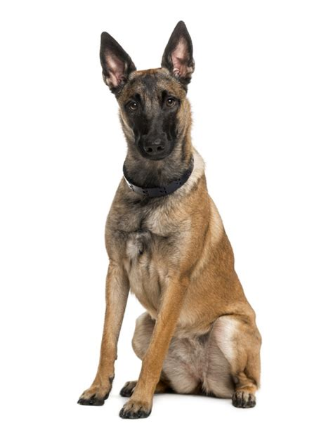 berger le berger malinois www pixshark images galleries with